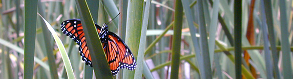 monarch-butterfly-1539751-640x480