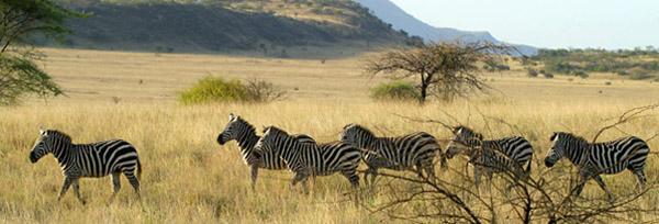 zebras-1548544-1279x773