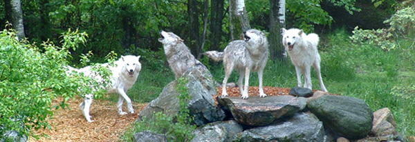 wolf-pack-1350716-1280x960
