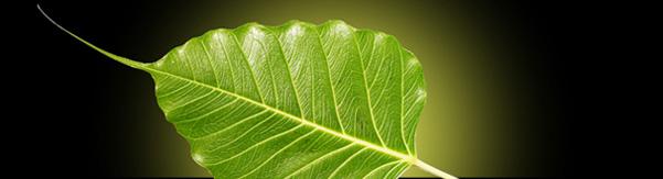 bodhi-leaf-1392651-1278x696